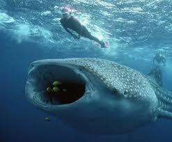 Isla Holbox er kjent for mulighetene for å snorkle med Hvalhai?